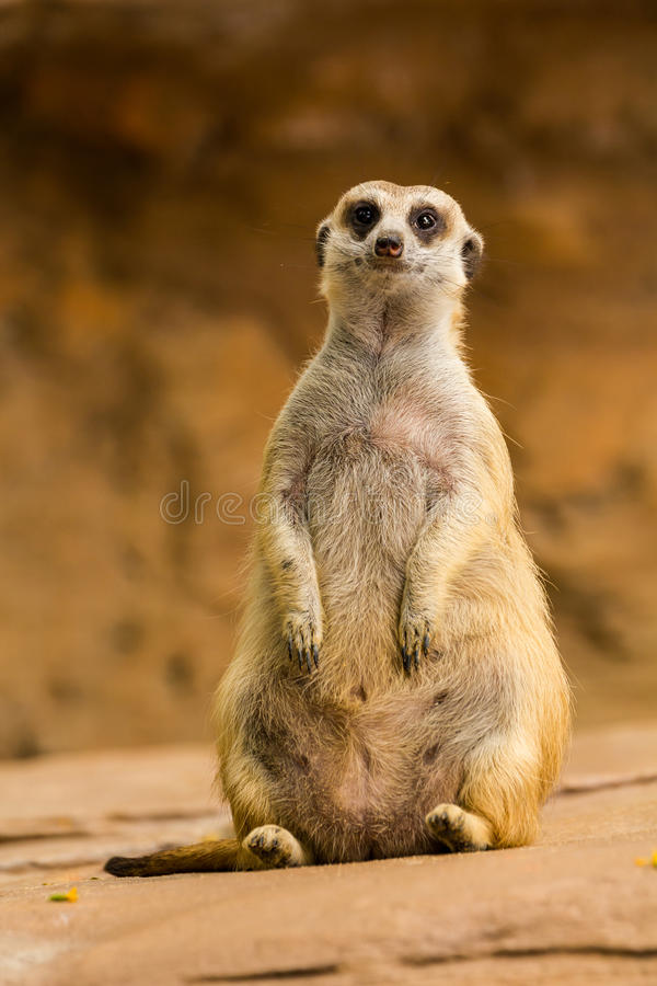 Meerkat. Looking around and checking out it's surroundings royalty free stock photography