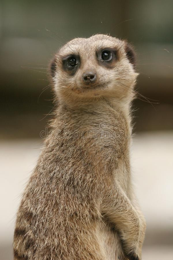 Meerkat. A meerkat looking cute stock photo