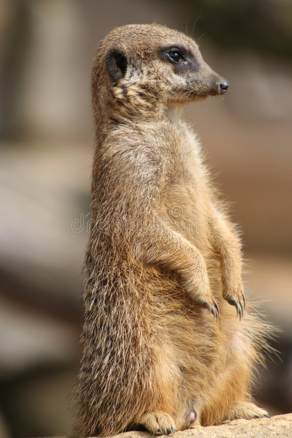 Meerkat on lookout royalty free stock images