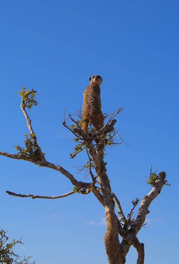Free Meerkat Lookout Stock Image - 566211