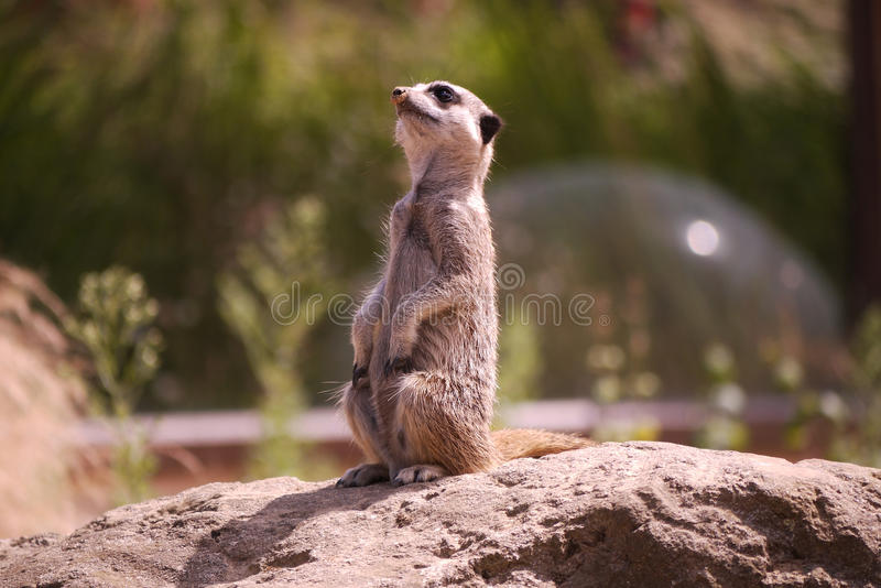 Download Meerkat stock photo. Image of rock, rodent, cute, alert - 32910488