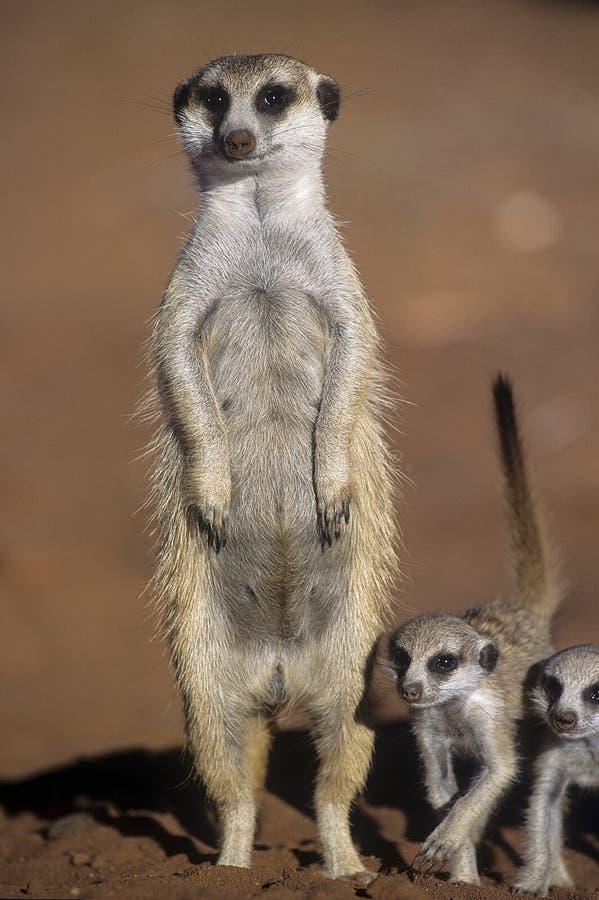 Download Meerkat lub suricate zdjęcie stock. Obraz złożonej z rodzina - 65226172