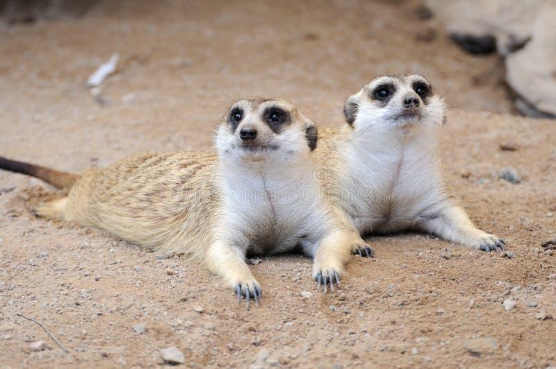Meerkat lub suricate, dzikie zwierzę w akci zdjęcie stock