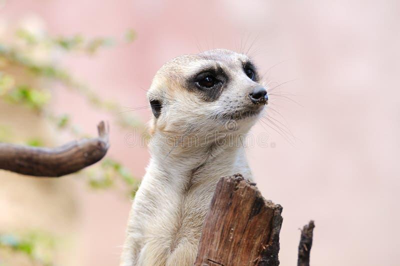 Meerkat lub suricate, dzikie zwierzę w akci zdjęcie royalty free