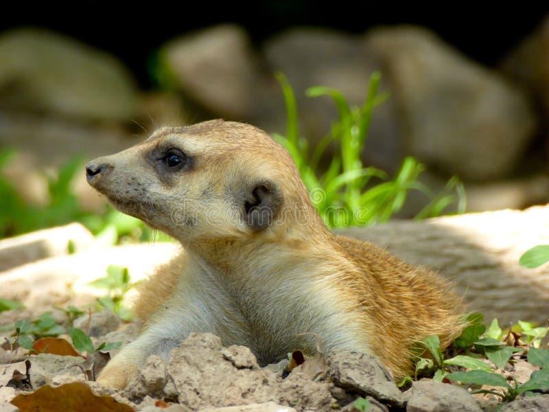 A Meerkat lying on the ground stock photos