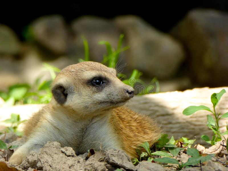 A Meerkat lying on the land stock image