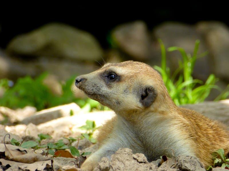 A Meerkat lying on the land stock photos