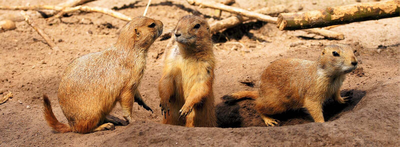 Meerkat, Mammal, Fauna, Terrestrial Animal Free Public Domain Cc0 Image