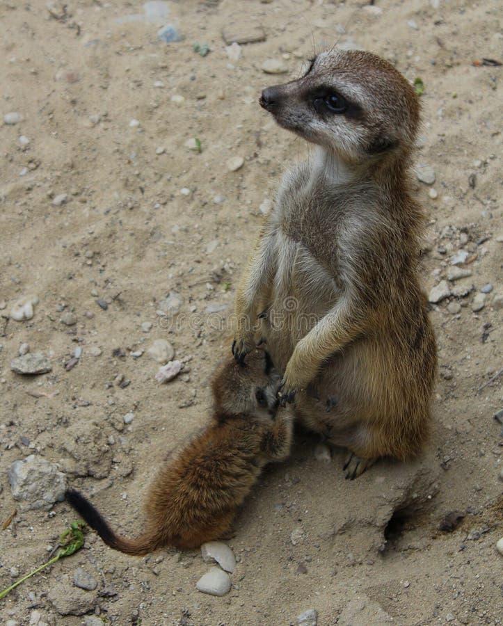 Meerkat met een kereltje stock foto