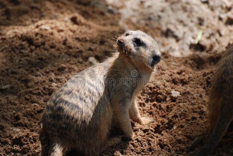 Meerkat met Vuil op Zijn Neus stock fotografie