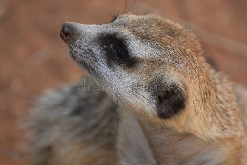 Meerkat met zich zeer het Lange Bakkebaarden Uitrekken stock afbeelding