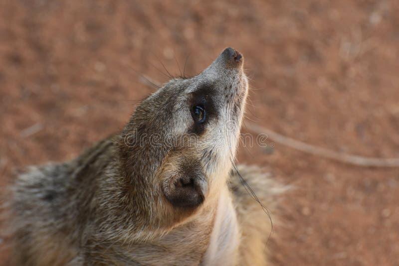 Meerkat met Zijn die Neus naar de Hemel wordt opgeheven royalty-vrije stock afbeeldingen