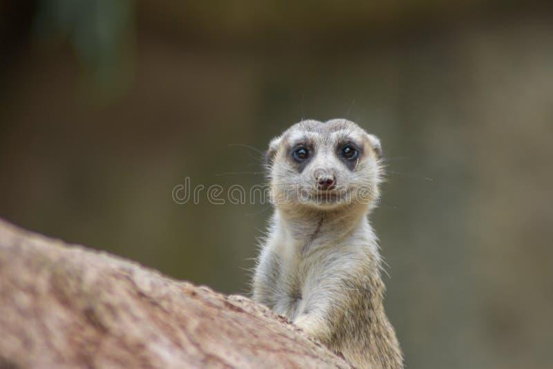 Meerkat mignon photographie stock