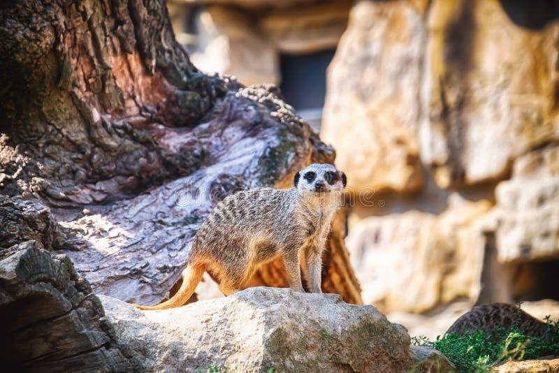 Meerkat mignon dans le jardin zoologique photographie stock