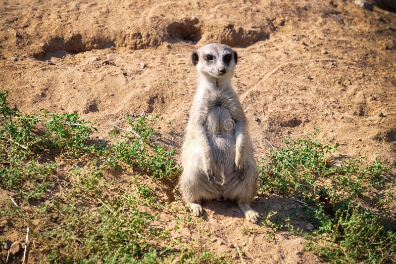 Meerkat mignon dans le jardin zoologique photo stock