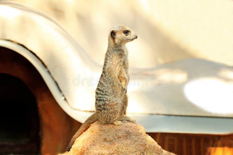 Meerkat mignon se tenant sur la pierre photos stock