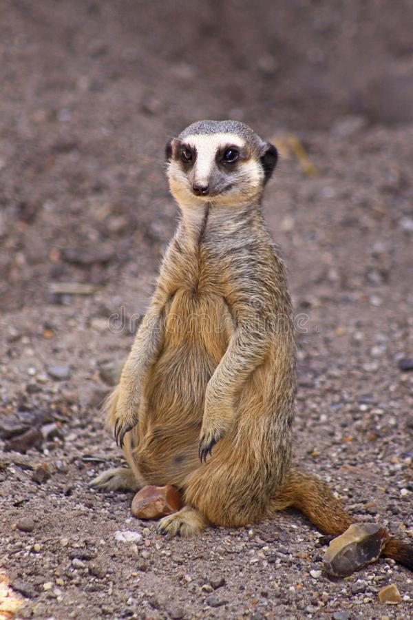 A Meerkat on the move. The meerkat or suricate Suricata suricatta is a small carnivoran belonging to the mongoose family Herpestidae. It is the only member of stock images