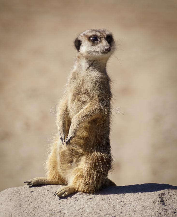 Meerkat na punkcie obserwacyjnym zdjęcie royalty free