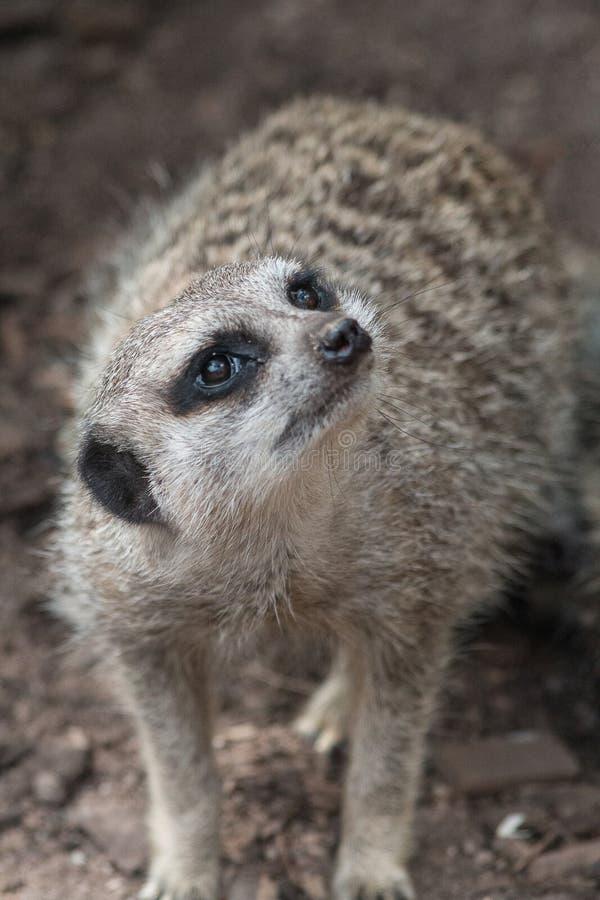 Meerkat-Nahaufnahme, die oben schaut stockfotografie