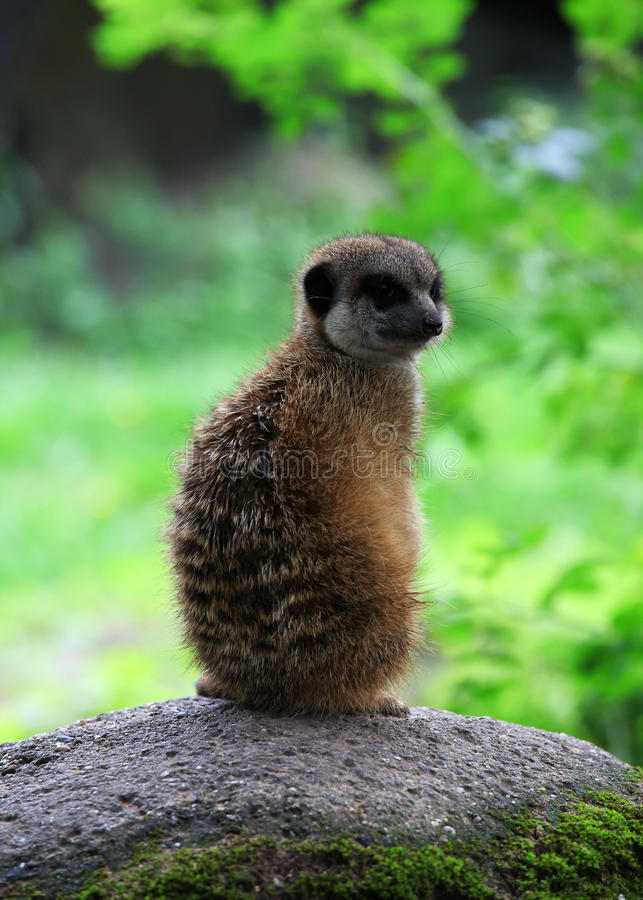 Meerkat in nature stock images
