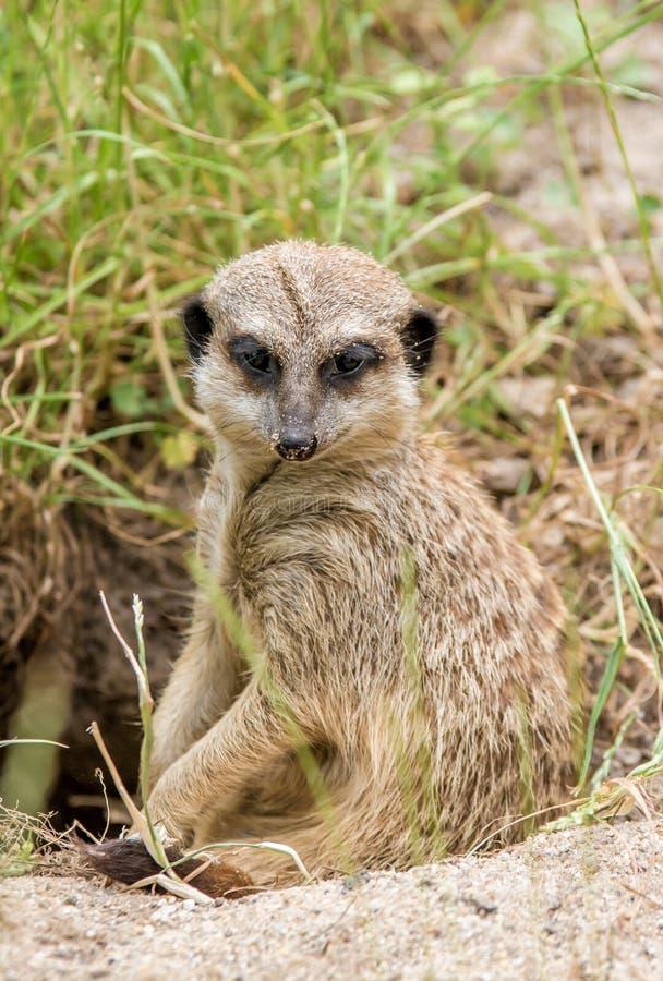 Meerkat neemt een onderbreking stock afbeelding