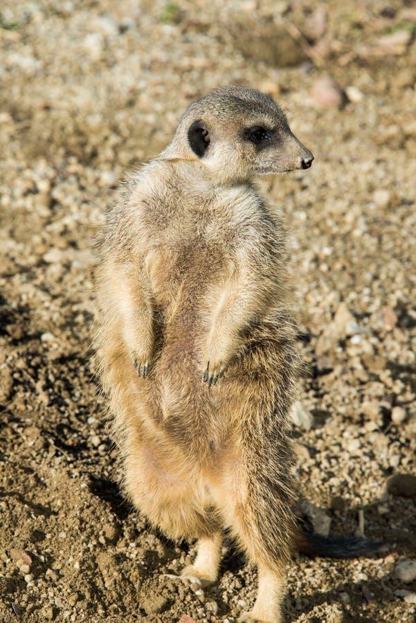 Meerkat nel suo habitat naturale fotografia stock libera da diritti