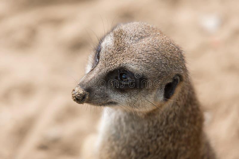 Meerkat nello zoo di Anversa fotografia stock libera da diritti