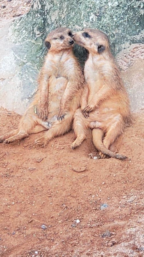 Meerkat nestelt zich royalty-vrije stock afbeeldingen