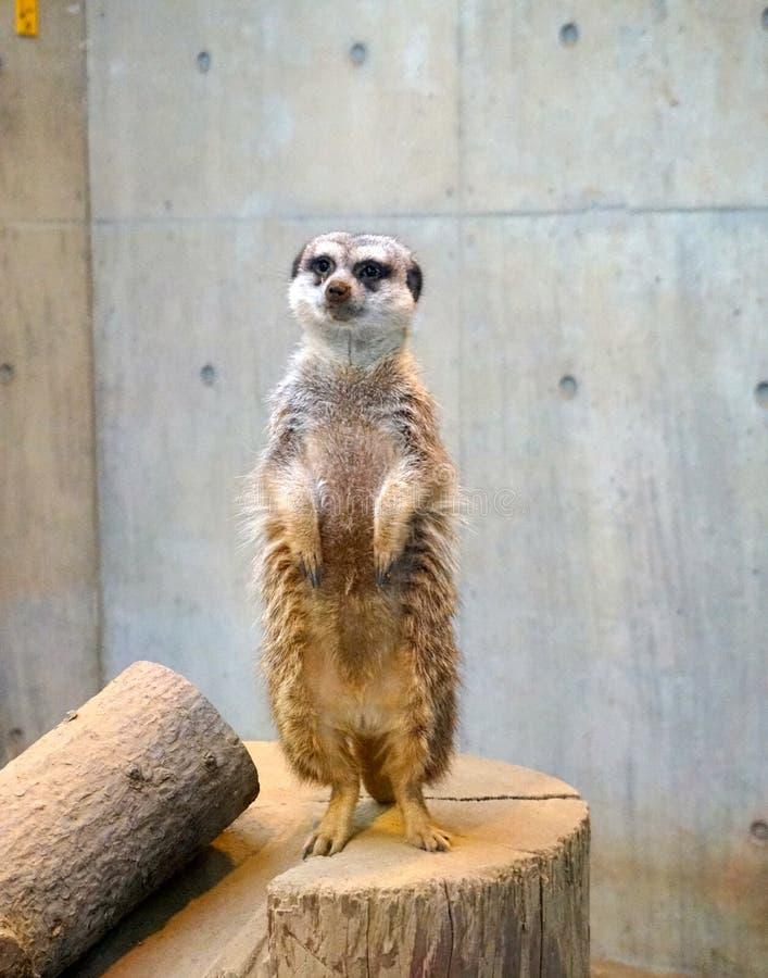 Meerkat no jardim zoológico de Sapporo Maruyama, Hokkaido Japão fotografia de stock