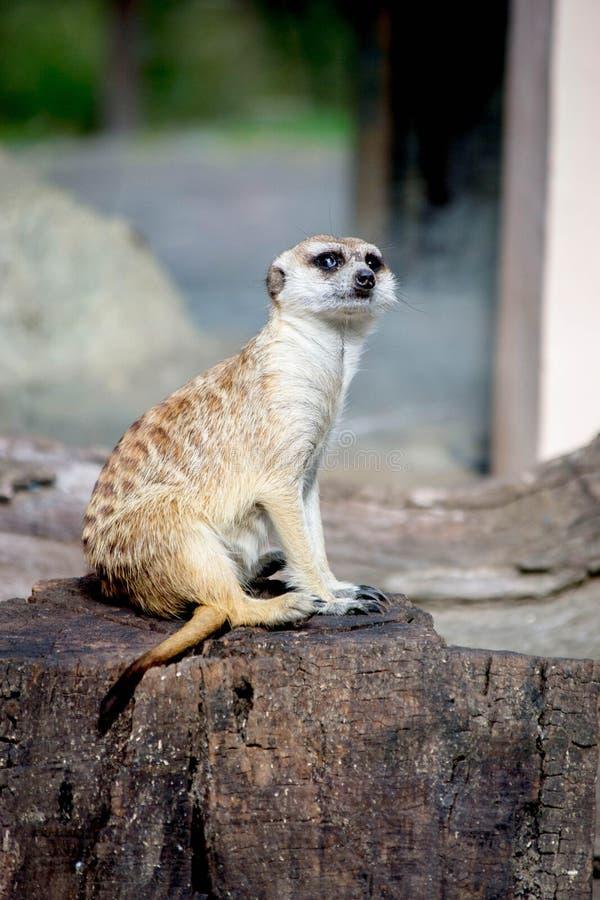 Meerkat no jardim zoológico em Argentina fotos de stock royalty free