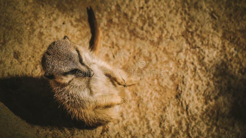 Meerkat o suricate foto de archivo