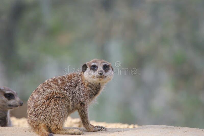 Meerkat o suricate che si siede e che guarda alla macchina fotografica immagini stock