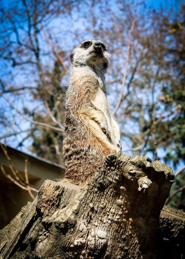 Meerkat observerar royaltyfri fotografi