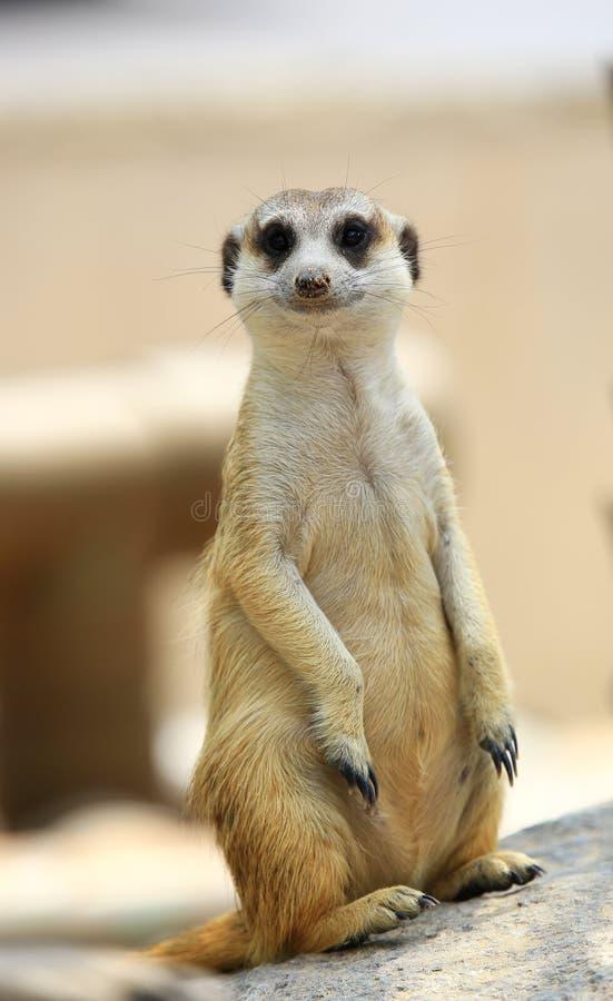 Meerkat oder Suricate, Suricata suricatta lizenzfreie stockfotos