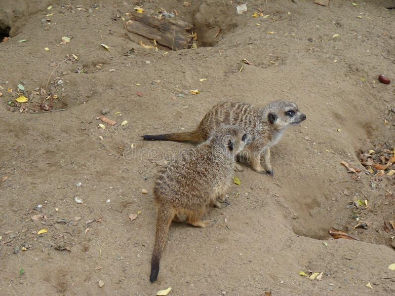 Meerkat oder suricate Suricata suricatta stockfoto