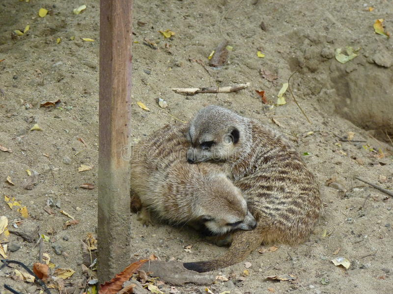 Meerkat oder suricate Suricata suricatta lizenzfreie stockfotografie