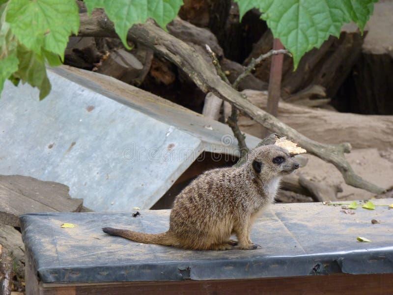 Meerkat oder suricate Suricata suricatta stockfotografie