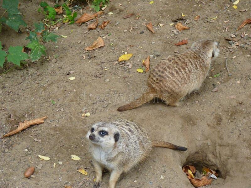 Meerkat oder suricate Suricata suricatta stockfotos