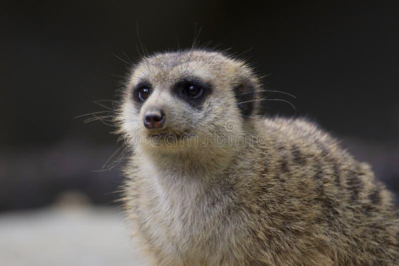 Meerkat oder suricate, Suricata suricatta, Singapur-Zoo, Singapur lizenzfreie stockfotografie