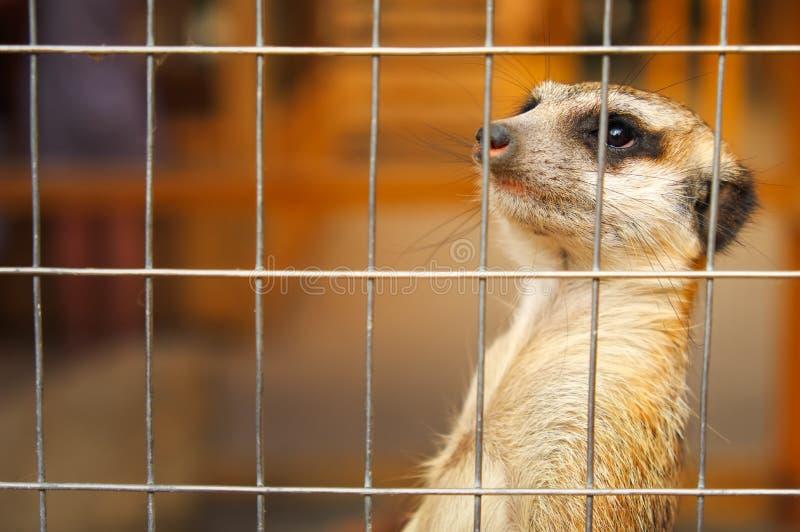 Meerkat oder Surikat stockfotografie