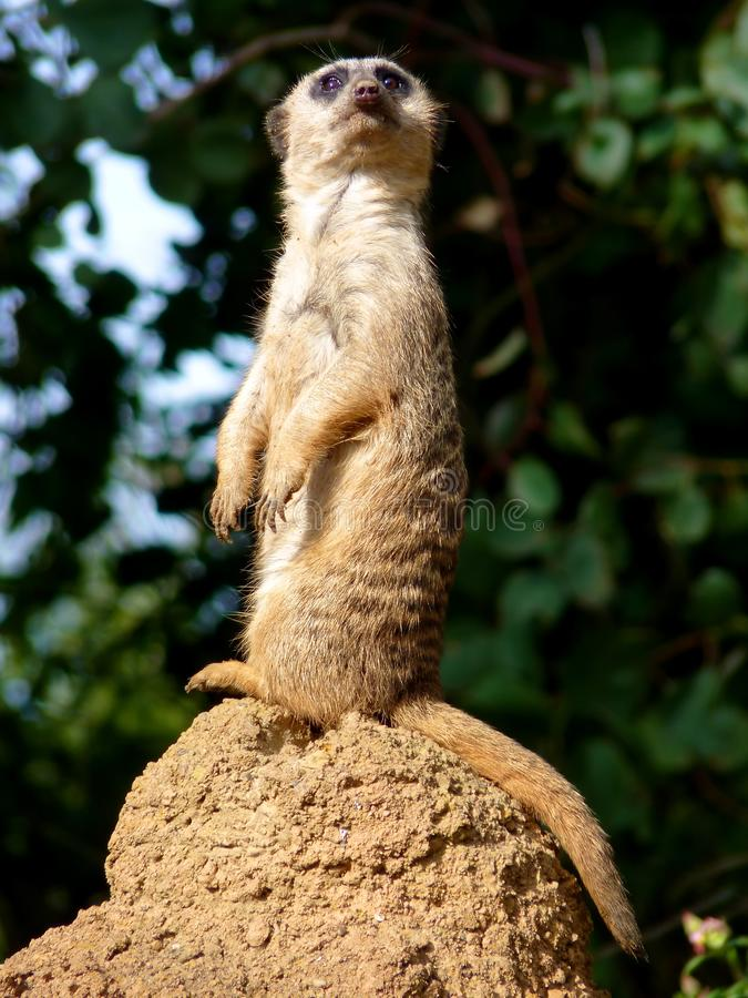Free Meerkat On Lookout Standing Up Royalty Free Stock Photos - 18632438