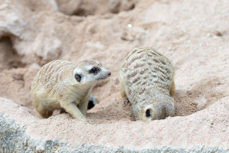 Meerkat Ontspannende Dag royalty-vrije stock foto