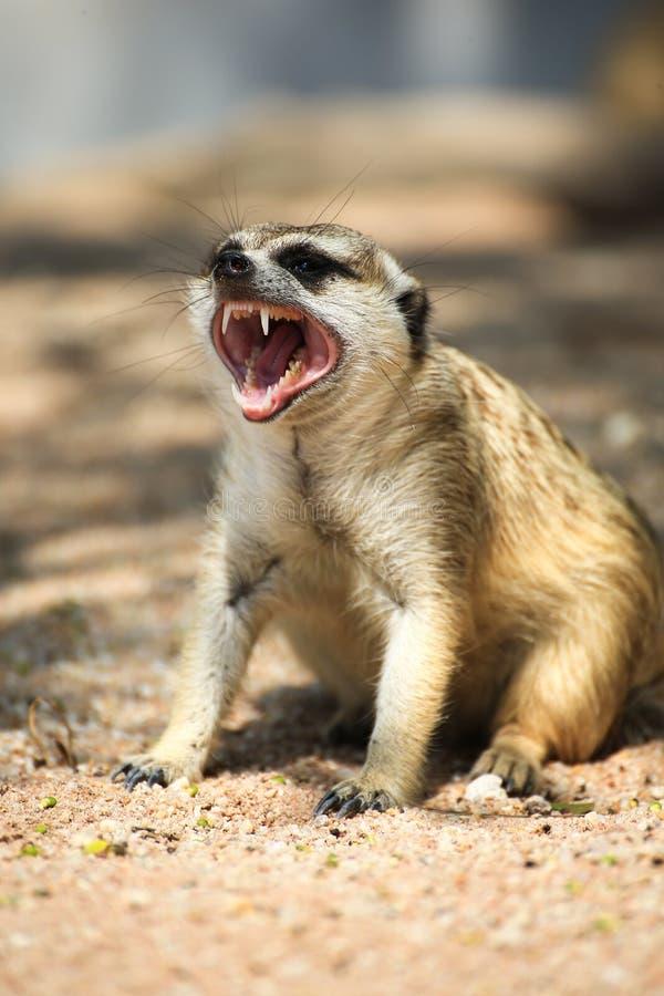 Meerkat Ontspannende Dag stock foto's