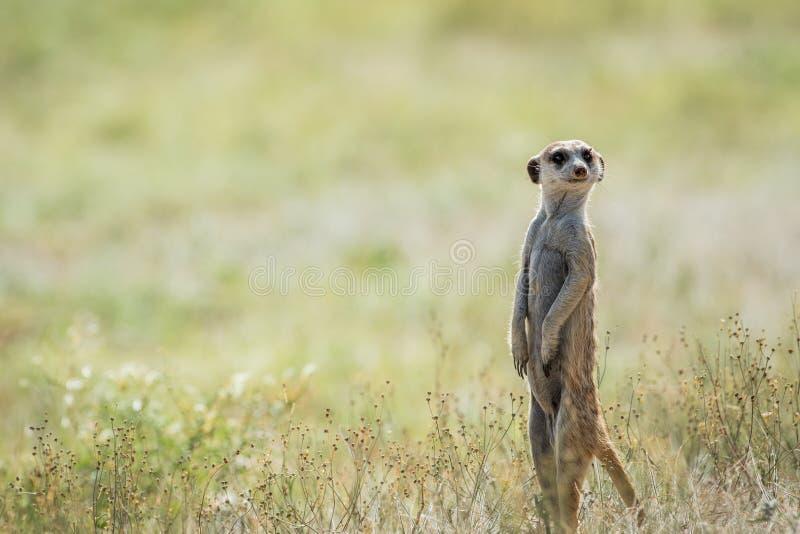 Meerkat op de blik uit in Kalagadi stock fotografie