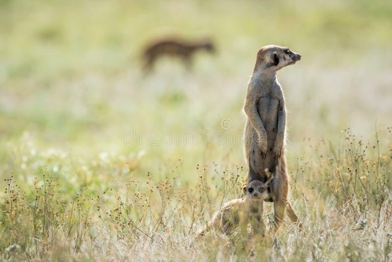 Meerkat op de blik uit in Kalagadi stock foto