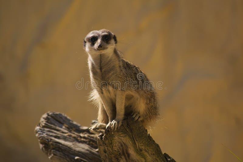 Meerkat op een logboek stock afbeelding