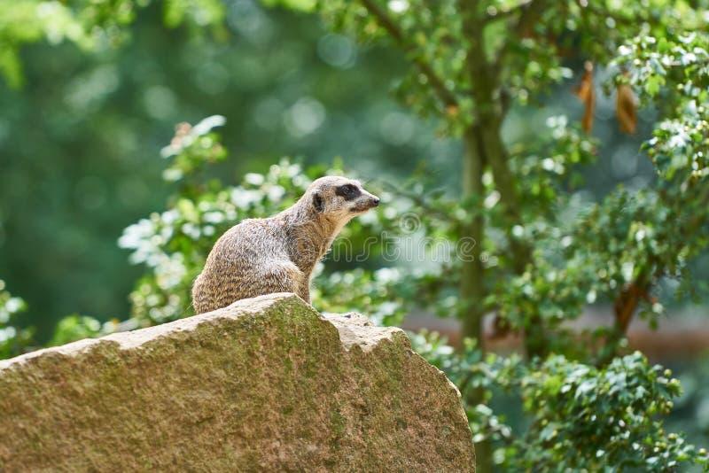 Meerkat op een rots stock afbeelding