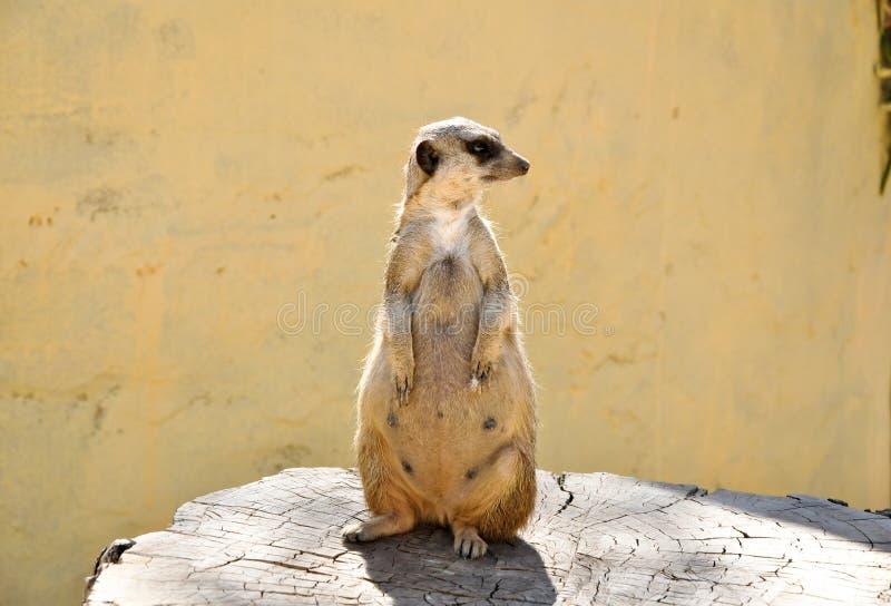 Meerkat op een stomp in Friguia-park. Tunesië. stock foto's