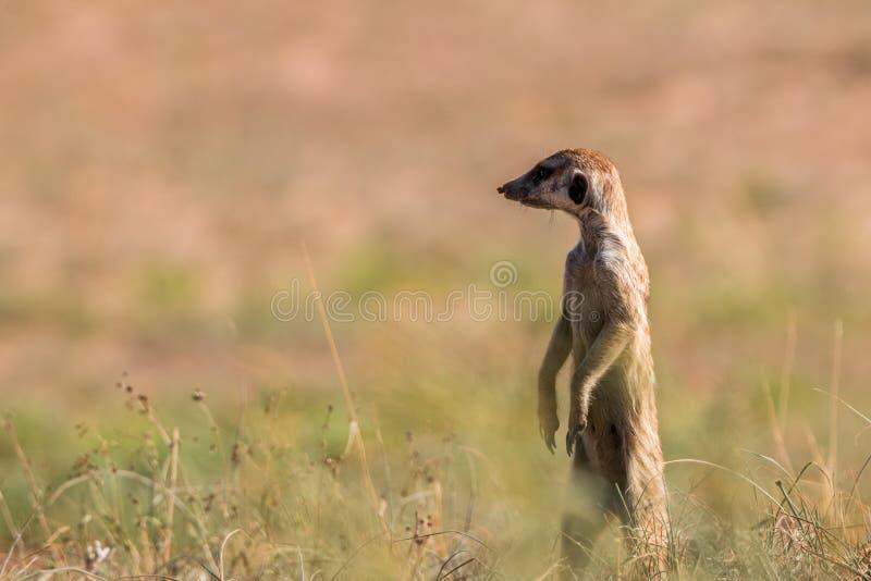 Meerkat op het vooruitzicht in Kgalagadi stock foto's