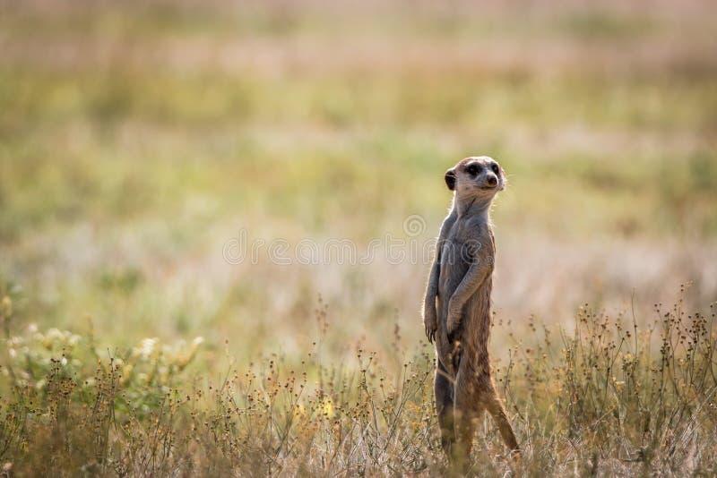 Meerkat op het vooruitzicht in Kgalagadi stock afbeeldingen